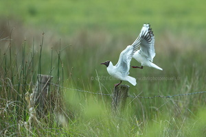 Mouette rieuse-Brenne-040517-6284