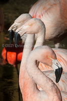 Flamant rose-230917-9626